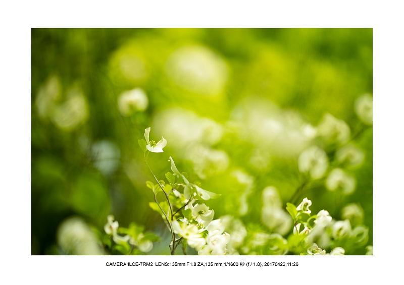 長居植物園0422ハナミズキ花水木8.jpg