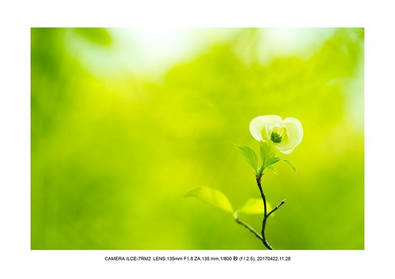 長居植物園0422ハナミズキ花水木9.jpg