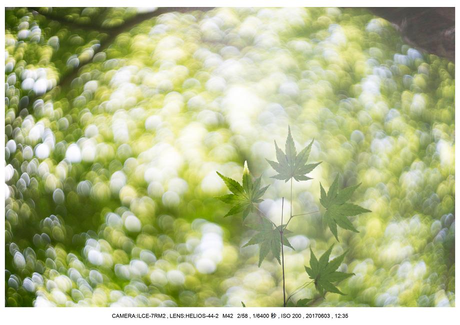 長居植物園5月のアジサイ紫陽花見頃0.png