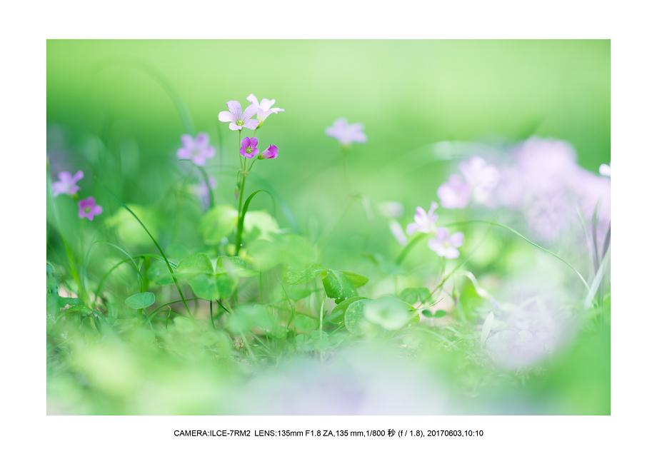 長居植物園5月のアジサイ紫陽花見頃1-1.png