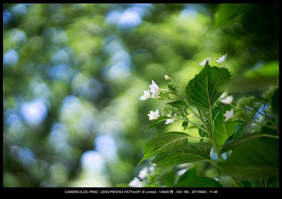 長居植物園5月のアジサイ紫陽花見頃12.jpg