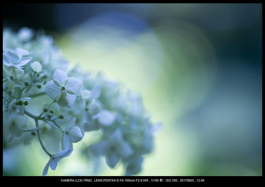 長居植物園5月のアジサイ紫陽花見頃14.jpg