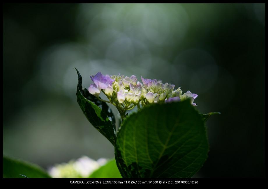 長居植物園5月のアジサイ紫陽花見頃15.jpg