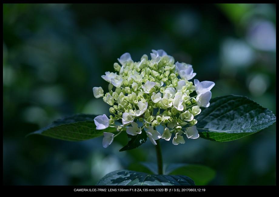 長居植物園5月のアジサイ紫陽花見頃16.jpg