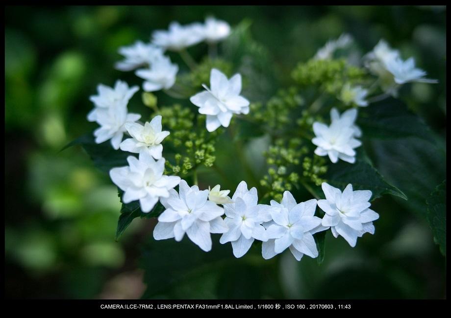 長居植物園5月のアジサイ紫陽花見頃17.jpg