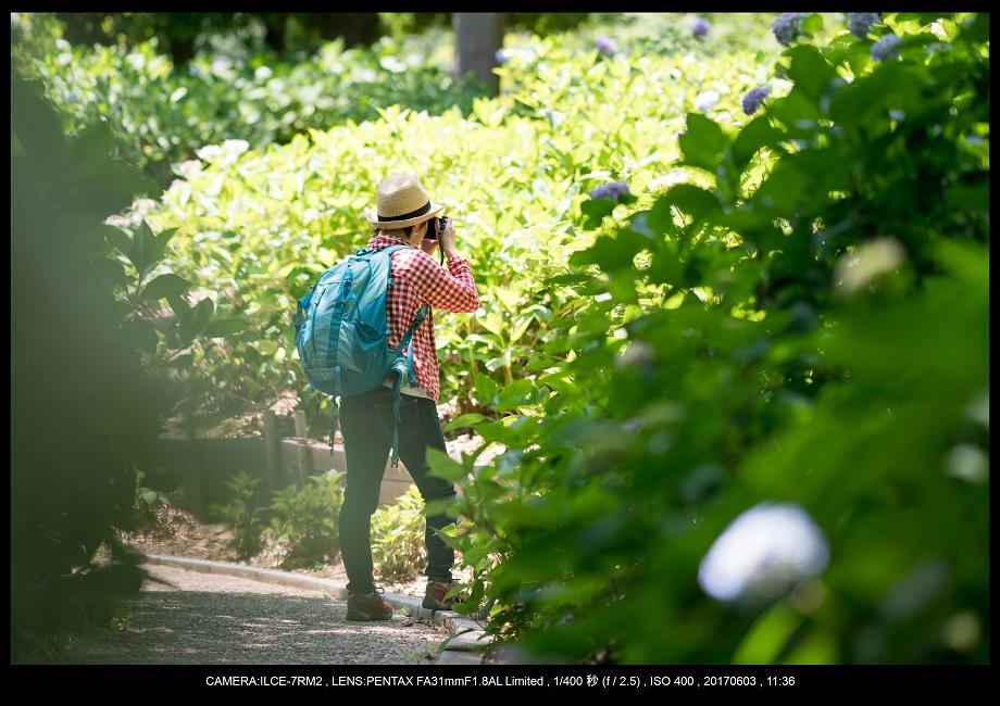 長居植物園5月のアジサイ紫陽花見頃18.jpg
