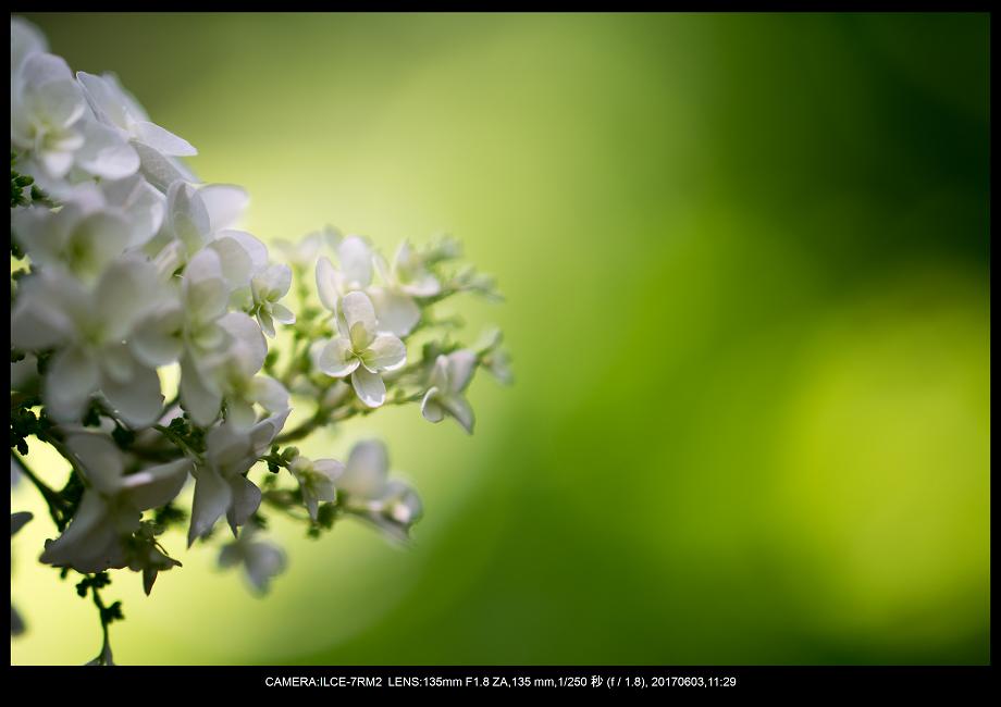 長居植物園5月のアジサイ紫陽花見頃19.png