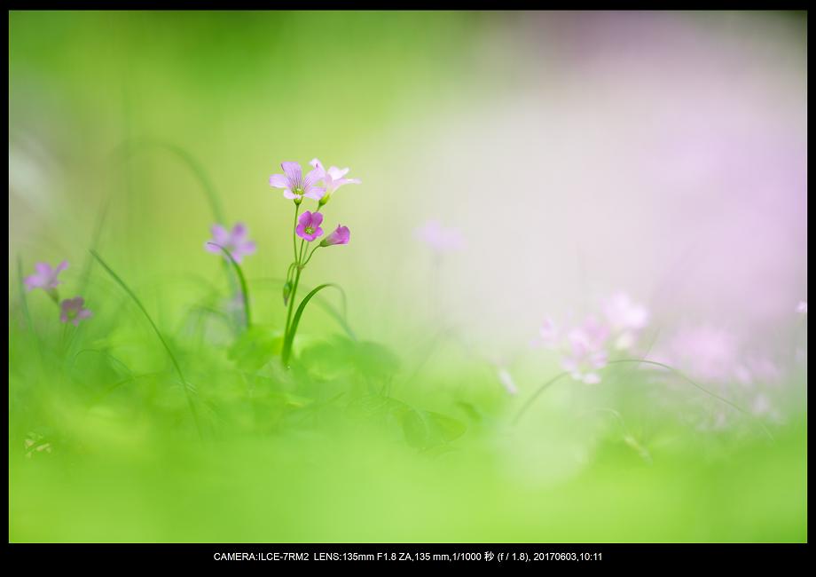 長居植物園5月のアジサイ紫陽花見頃2-1.png
