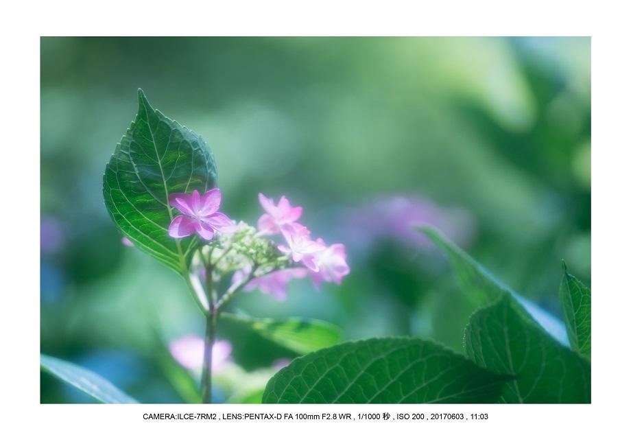 長居植物園5月のアジサイ紫陽花見頃22.jpg