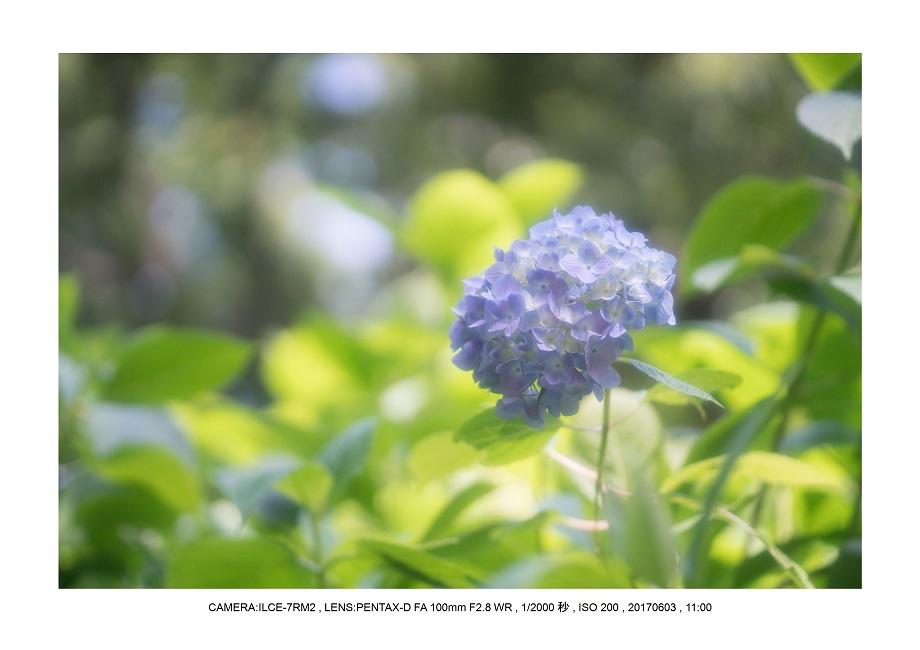 長居植物園5月のアジサイ紫陽花見頃23.jpg