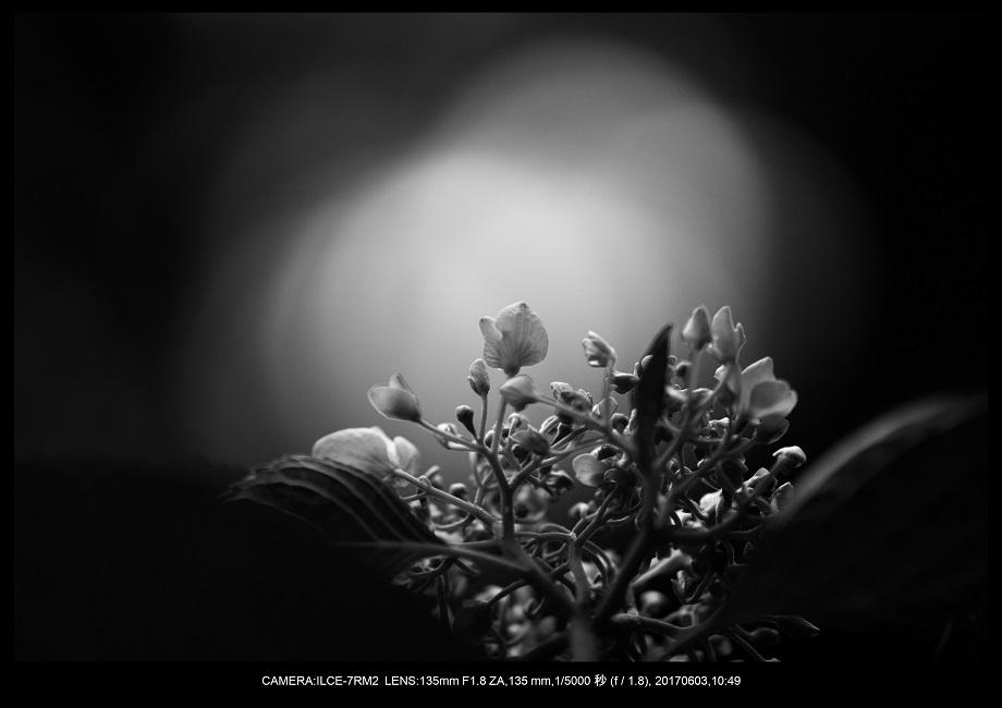 長居植物園5月のアジサイ紫陽花見頃24.jpg
