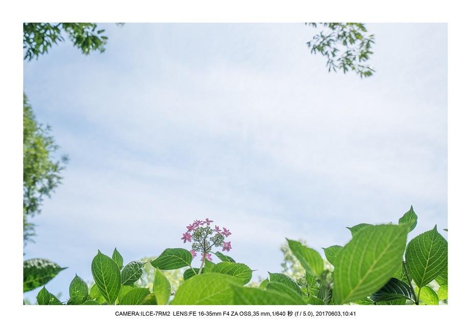 長居植物園5月のアジサイ紫陽花見頃25.jpg