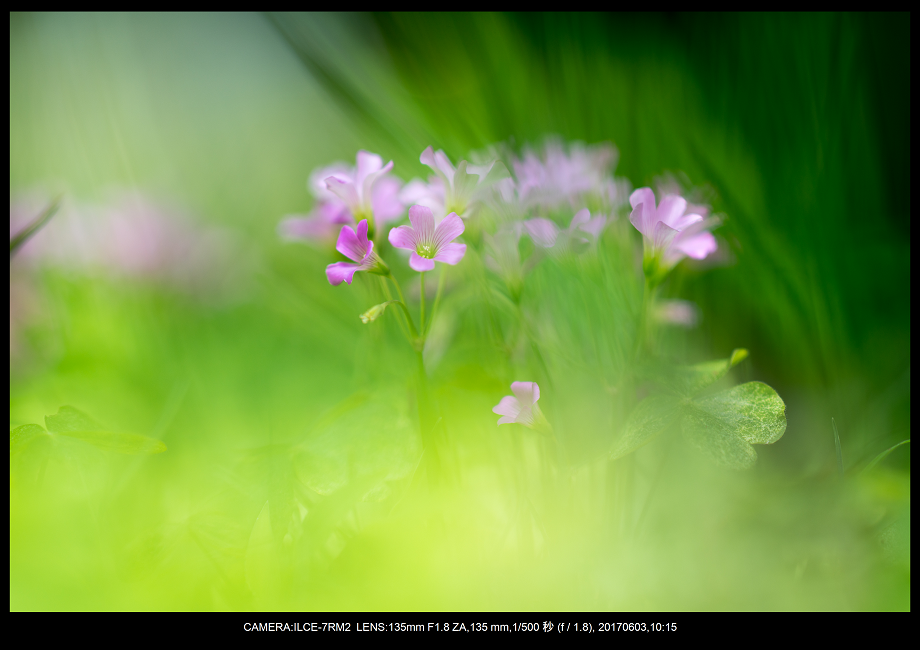 長居植物園5月のアジサイ紫陽花見頃3-1.png