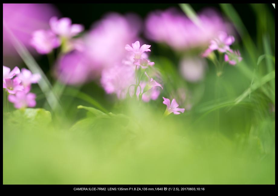 長居植物園5月のアジサイ紫陽花見頃4-1.png