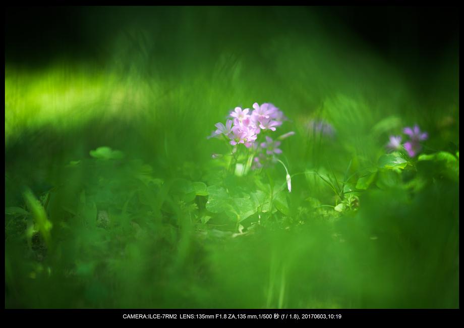 長居植物園5月のアジサイ紫陽花見頃6-1.png