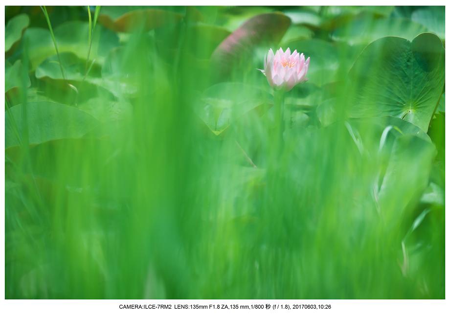 長居植物園5月のアジサイ紫陽花見頃8.png