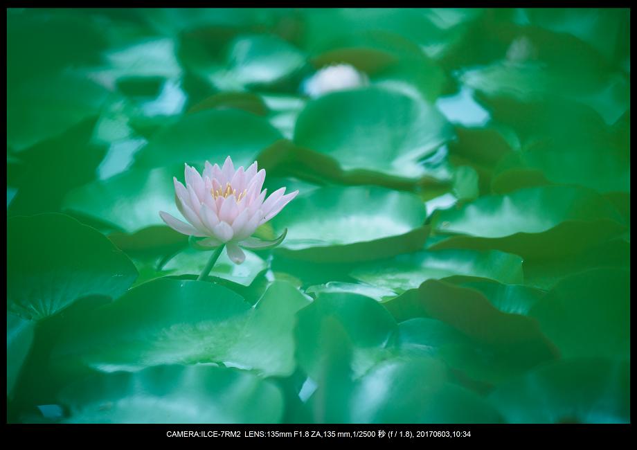 長居植物園5月のアジサイ紫陽花見頃9.png