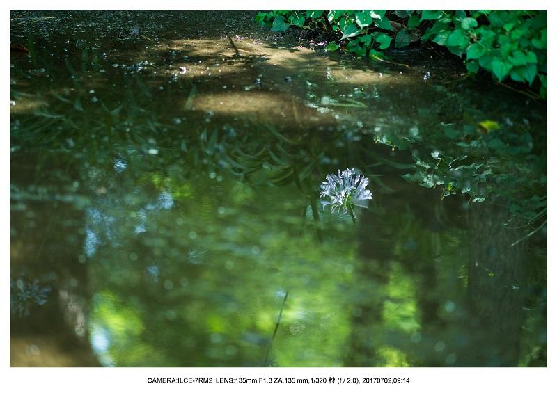 長居植物園でアガパンサス見頃10.jpg