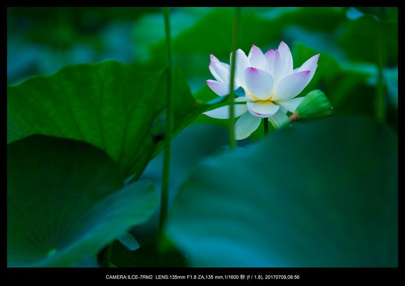 長居植物園のハス蓮満開2.jpg