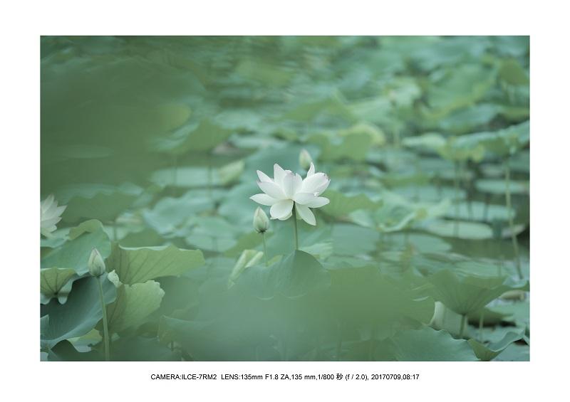 長居植物園のハス蓮満開6.jpg