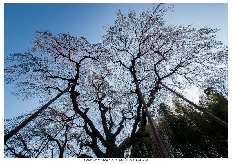 s福島桜1紅枝垂れ地蔵桜.jpg
