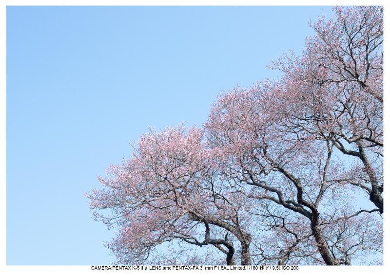 s福島桜8弘法桜.jpg