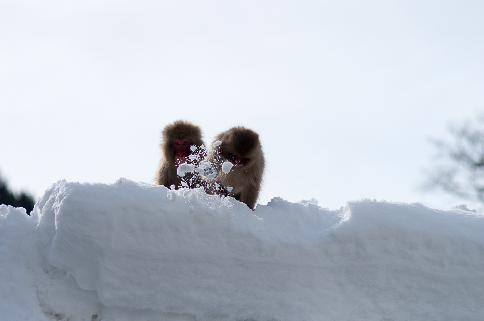 snowmonkey jigokudani47.jpg