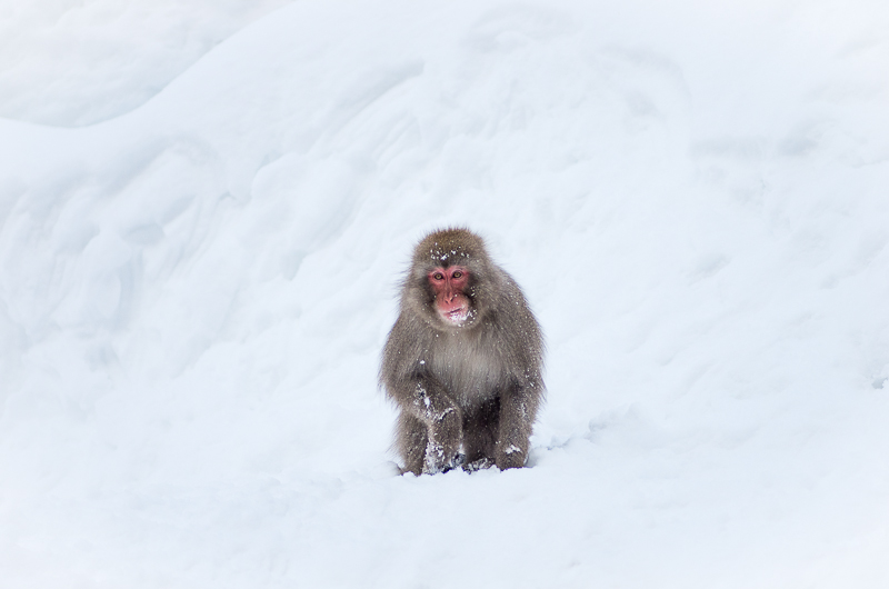 snowmonkey jigokudani48.jpg