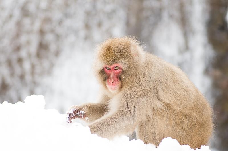 snowmonkey jigokudani61.jpg