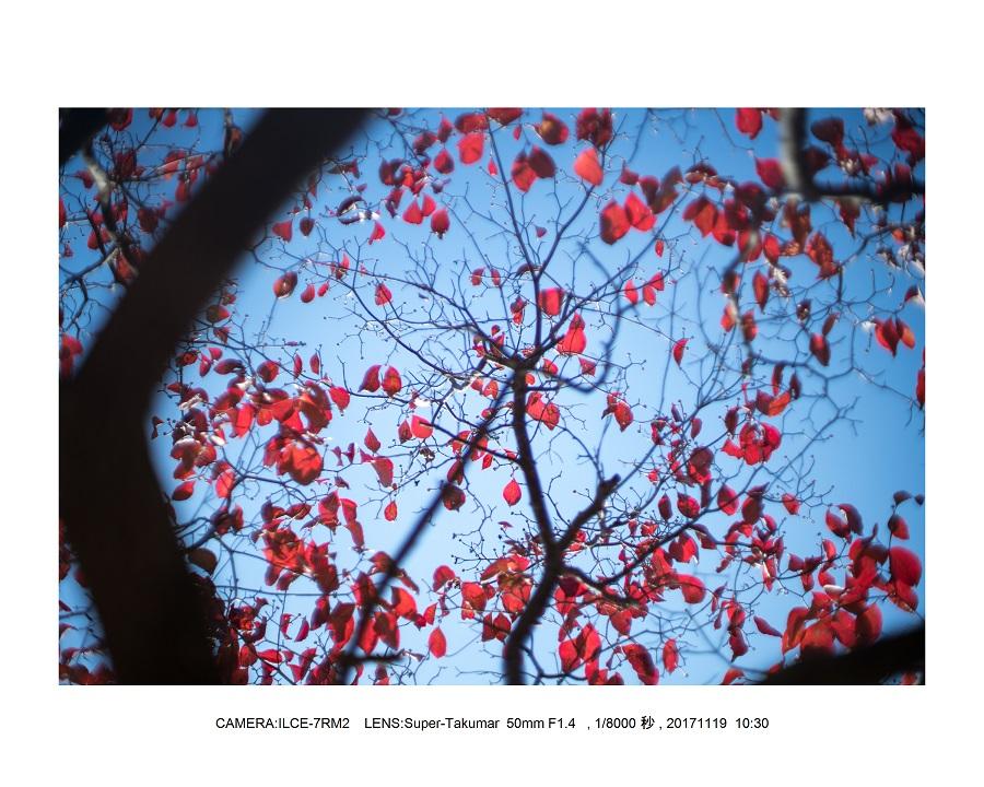 201711大阪長居植物園もみじ紅葉見頃満開オールドレンズスナップ1.jpg