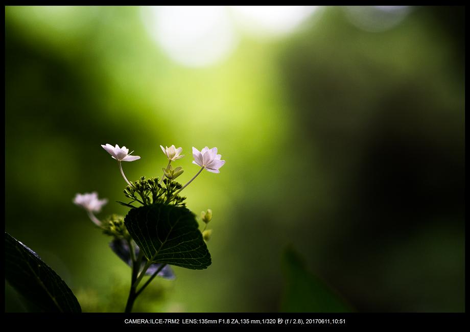 アジサイ紫陽花見頃の長居植物園0.png