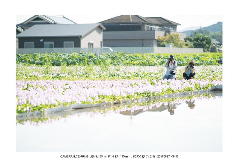 ホテイアオイ満開バブルボケ8.jpg