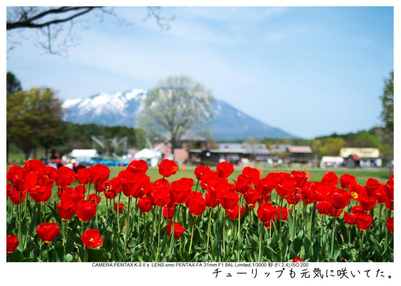 小岩井農場の一本桜17.jpg