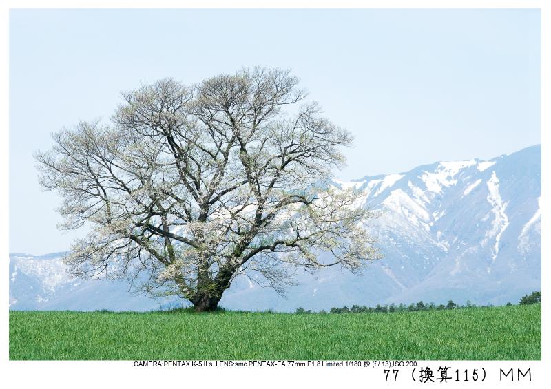 小岩井農場の一本桜7.jpg