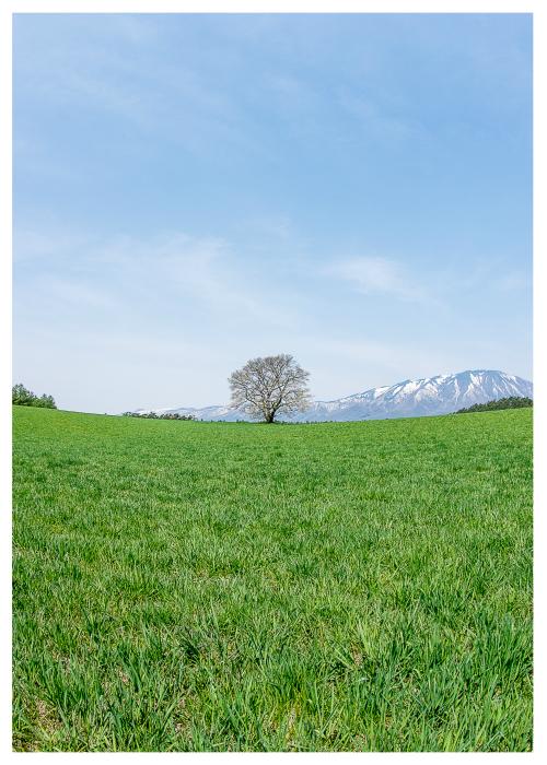 小岩井農場の一本桜8.jpg