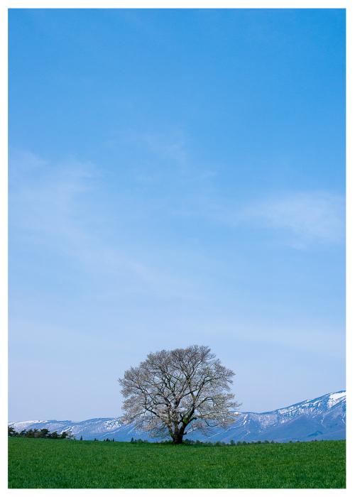 小岩井農場の一本桜9.jpg