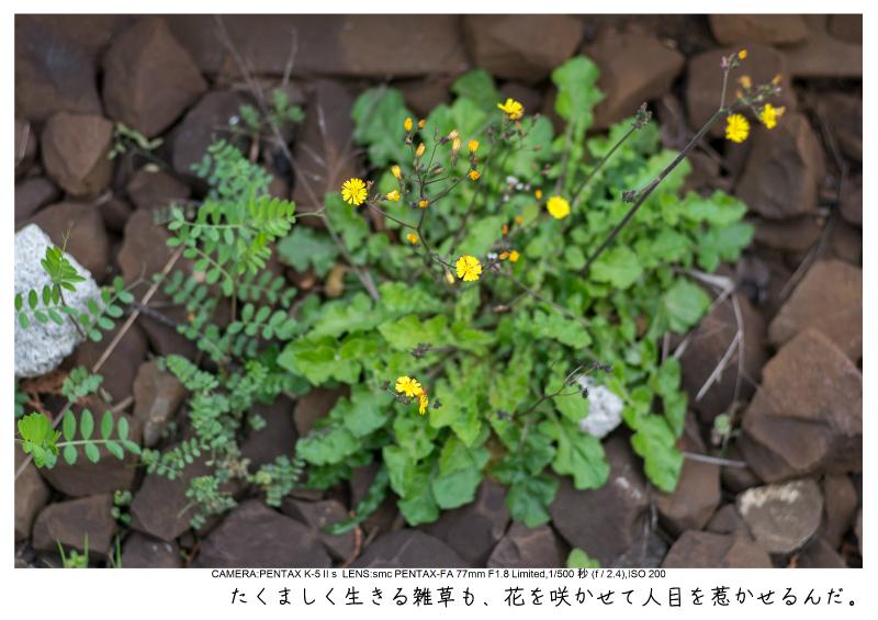 小湊鉄道_菜の花画像10.jpg