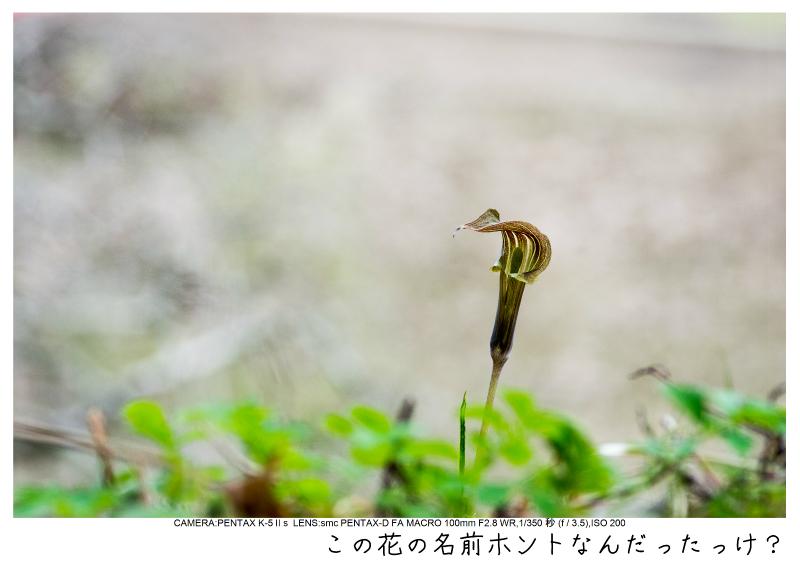小湊鉄道_菜の花画像19.jpg