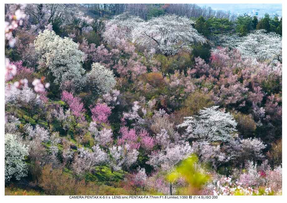 福島桜46花見山公園.jpg