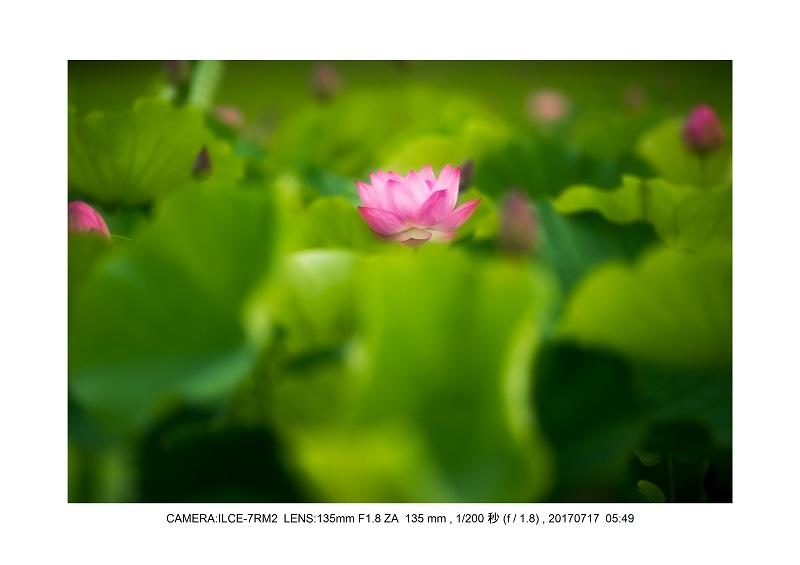 絶景・奈良の藤原宮跡の蓮ハス見ごろ見頃15-0.jpg