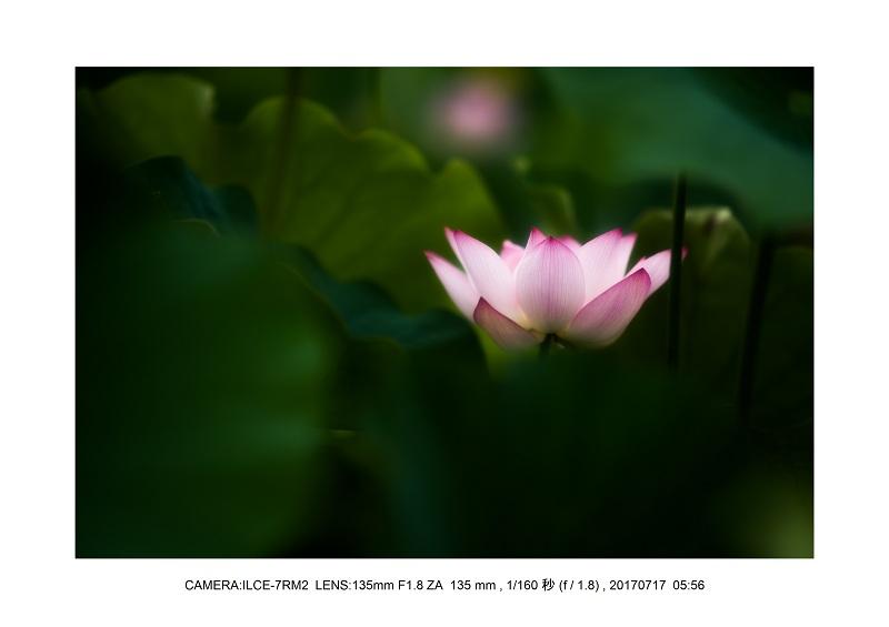 絶景・奈良の藤原宮跡の蓮ハス見ごろ見頃17-0.jpg
