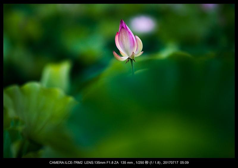絶景・奈良の藤原宮跡の蓮ハス見ごろ見頃2.jpg