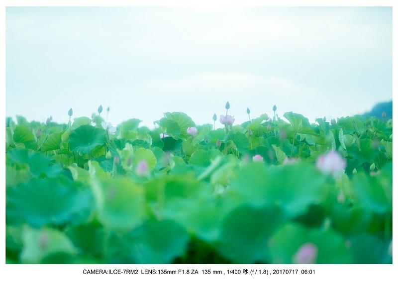 絶景・奈良の藤原宮跡の蓮ハス見ごろ見頃20.jpg