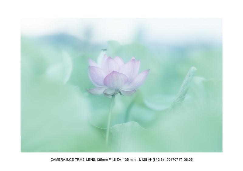 絶景・奈良の藤原宮跡の蓮ハス見ごろ見頃21-1.jpg