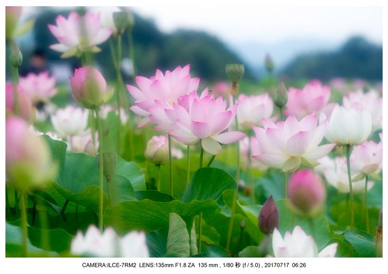絶景・奈良の藤原宮跡の蓮ハス見ごろ見頃23.jpg