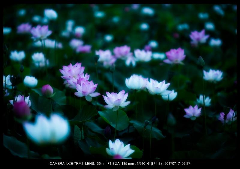 絶景・奈良の藤原宮跡の蓮ハス見ごろ見頃24-0.jpg
