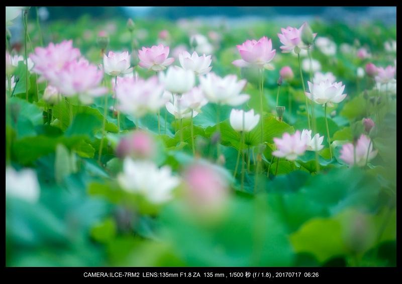 絶景・奈良の藤原宮跡の蓮ハス見ごろ見頃24.jpg