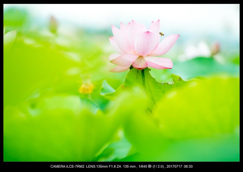 絶景・奈良の藤原宮跡の蓮ハス見ごろ見頃28.png