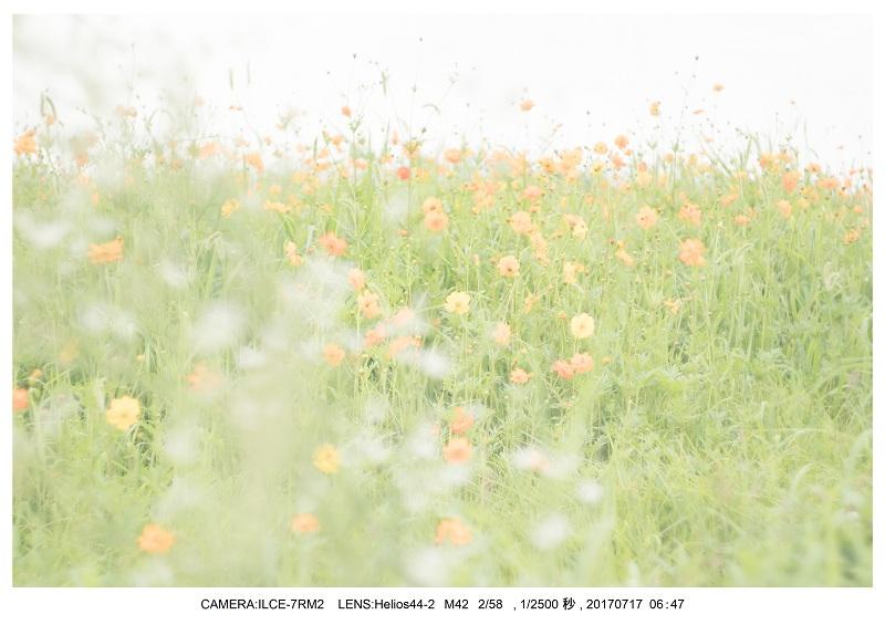 絶景・奈良の藤原宮跡の蓮ハス見ごろ見頃32.jpg