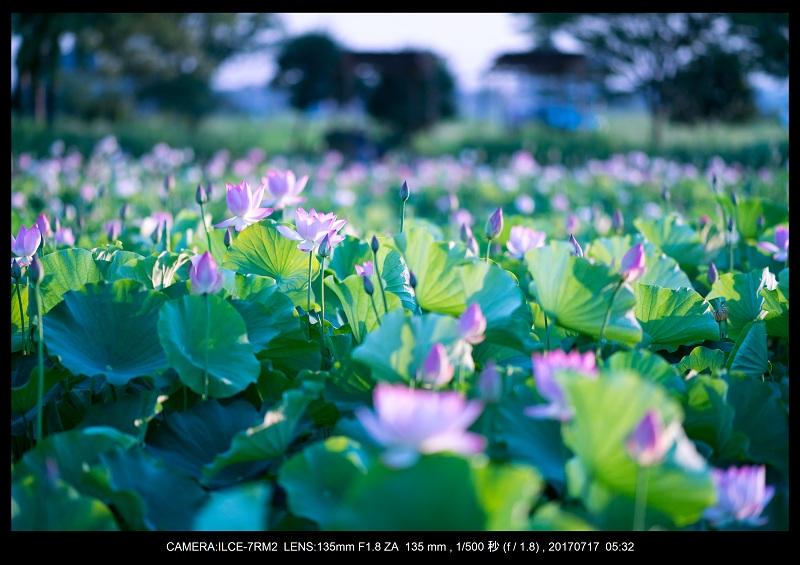 絶景・奈良の藤原宮跡の蓮ハス見ごろ見頃6.jpg